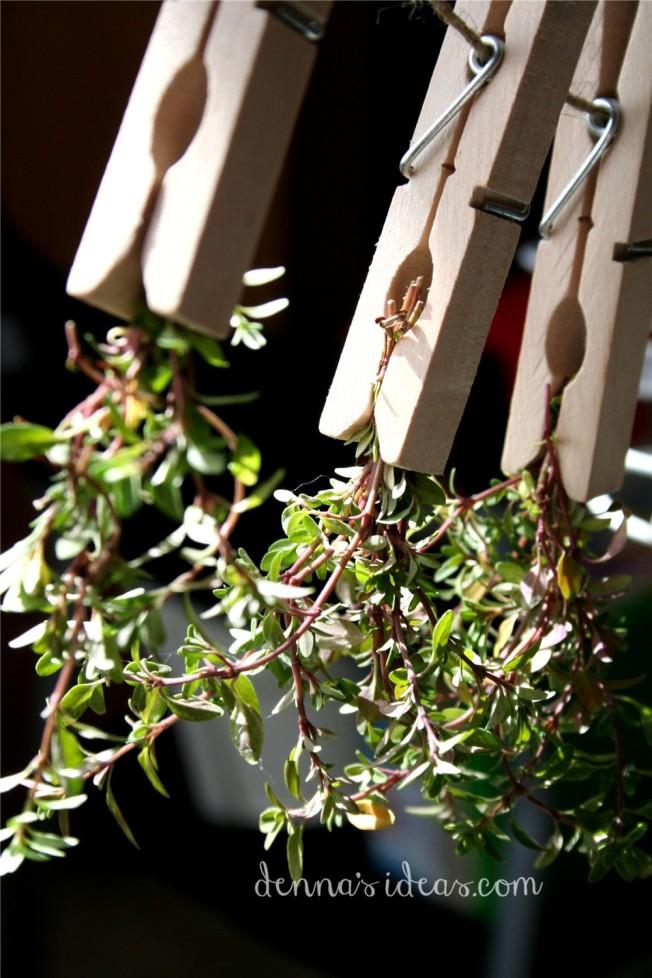dennasideas.com_my garden harvest - thyme